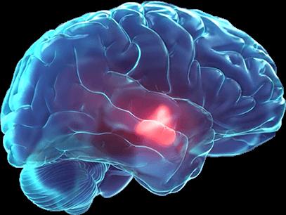 Le système hypothalamique